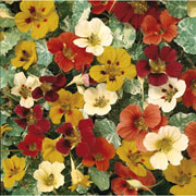 Nasturtium Jewel of Africa - 25 Seeds