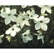 Nicotiana Fragrant Cloud - 1000 Seeds