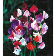 Sweet Pea Heirloom Mix - 25 Seeds