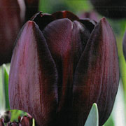 Tulip Triumph Queen of The Night - (20 Bulbs)