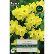 Narcissus 'Intrigue' (5 Bulbs)