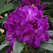 Rhododendron Purple Passion - 7.5 Ltr Pot