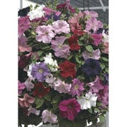 Petunia Super Cascade Improved Mixed F1 Hybrid