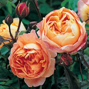Lady Emma Hamilton Shrub Rose 6L