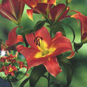 Lilium Satisfaction (Pack of 2)