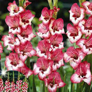 Gladiolus Miniature Clemence (Pack of 10)