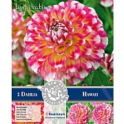 Dahlia Decorative Hawaii (Pack of 2)
