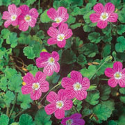 Erodium Bishops Form - 1ltr pot