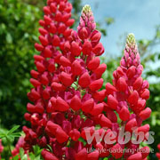 Lupin Red Rum - 2 ltr pot