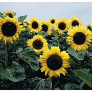 Sunflower Elite Sun F1 - 25 Seeds