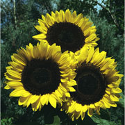 Sunflower Russian Giant - 60 Seeds