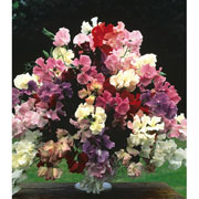 Sweet Pea Floral Tribute Mixed - 45 Seeds