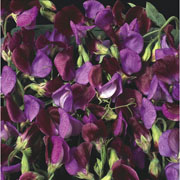 Sweet Pea Matucana - 25 Seeds