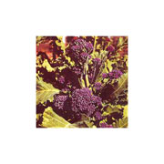Broccoli Early Purple Sprouting - 400 Seeds