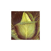 Cabbage (Spring) Advantage F1 Hybrid - 50 Seeds