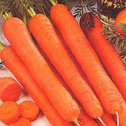 Carrot Amsterdam Forcing - 2000 Seeds