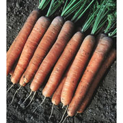 Carrot Early Nantes 2 - 3000 Seeds