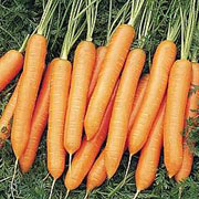 Carrot Nigel Hybrid - 500 Seeds