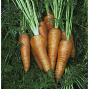 Carrot Supreme Chantenay Red Cored - 2500 Seeds