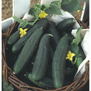 Cucumber Burpless Tasty Green - 10 Seeds
