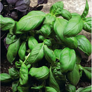 Herb Basil Sweet Green - 400 Seeds