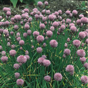 Herb Chives - 1000 Seeds
