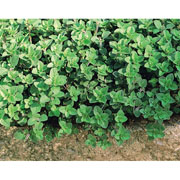 Herb Oregano - 1500 Seeds