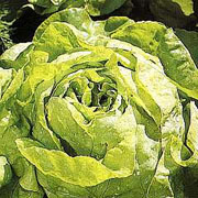 Lettuce Butterhead All Year Round - 2000 Seeds