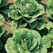 Lettuce Tom Thumb - 1350 Seeds