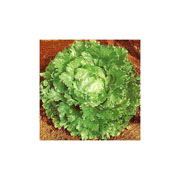 Lettuce Webbs Wonderful - 1500 Seeds