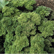 Parsley Champion Moss Curled - 1750 Seeds