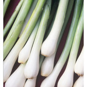 Spring Onion White Lisbon - 500 Seeds