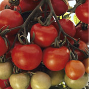 Tomato Ailsa Craig - Packet of 75 Seeds