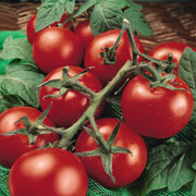 Tomato Moneymaker - Packet of 75 Seeds
