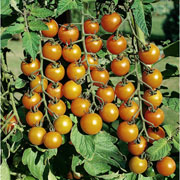 Tomato Sungold F1 Hybrid - Packet of 10 Seeds