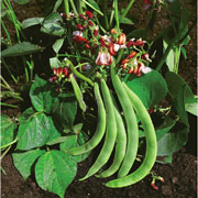 Dwarf Runner Bean Hestia - 40 Seeds