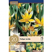 Tulipa Tarda - (20 Bulbs)