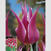 Tulip Lily Flowered Maytime - (8 Bulbs)