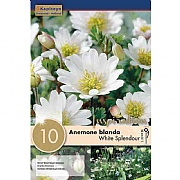 Anemone blanda White Splendour - (10 Bulbs)