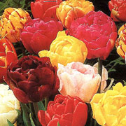 Tulip Double Mixed Colours - (20 Bulbs)