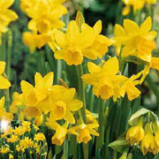 Narcissus 'Tete a Tete' - (30 Bulbs)
