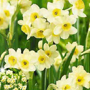 Narcissus 'Minnow' - (30 Bulbs)