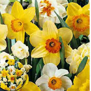 Narcissus Mixed Colours - (30 Bulbs)