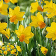 Narcissus 'Jetfire' - (20 Bulbs)
