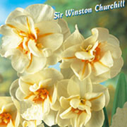 Narcissus (Daffodil) Sir Winston Churchill (5 Bulbs)