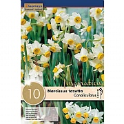 Narcissus (Daffodil) canaliculatus - 10 Bulb Pack