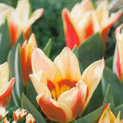 Tulip greigii Quebec - (10 Bulbs)