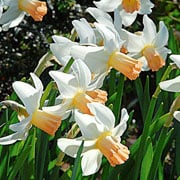 Narcissus 'Cotinga' - (10 Bulbs)