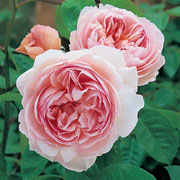 Gentle Hermione Shrub Rose 6L