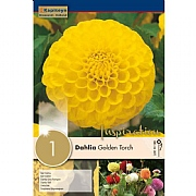Dahlia Golden Torch (Single)